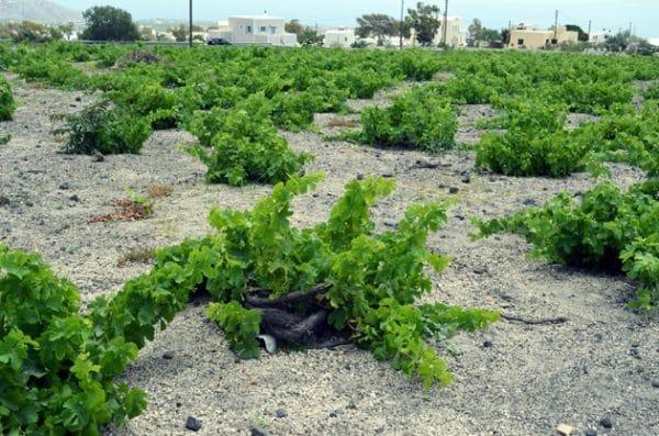 Koulara Basket Trained Grape Vines - Santorini Wineries