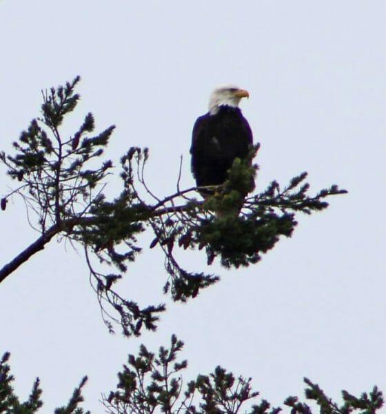 Sequim Washington Eagle