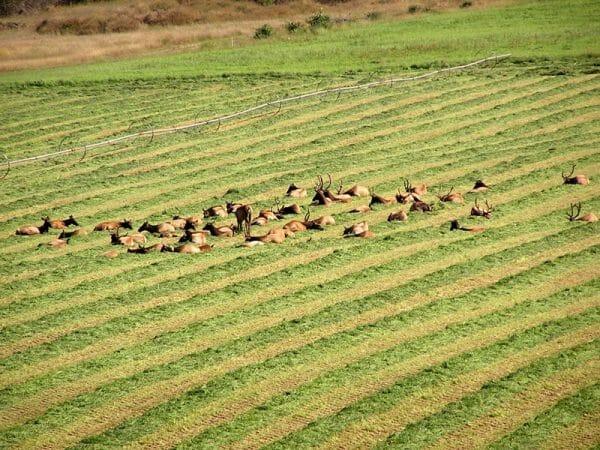 Sequim Washington Roosevelt Elk Herd