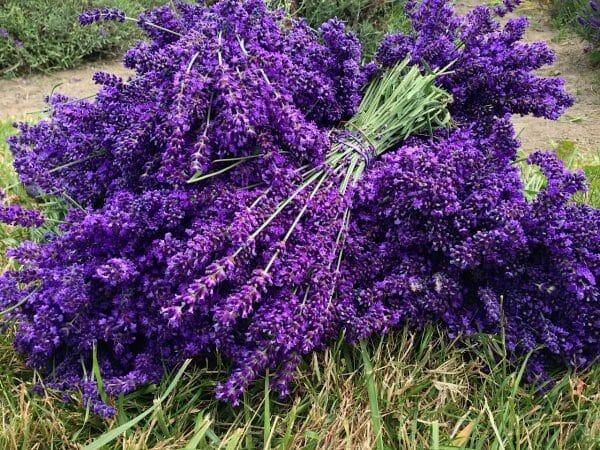 Sequim Washington Lavender