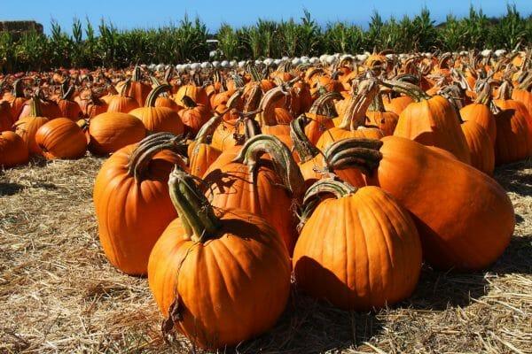 San Mateo - Silicon Valley - Half Moon Bay - Farmer John's Pumpkins. Photo by Edna Takeda-Geller