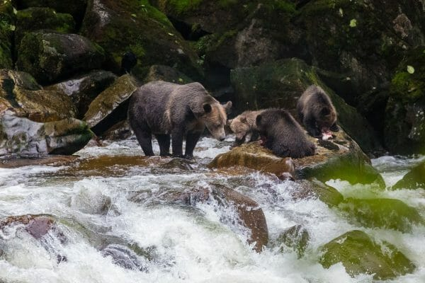 Bears catching salmon - British Columbia's First Nations people