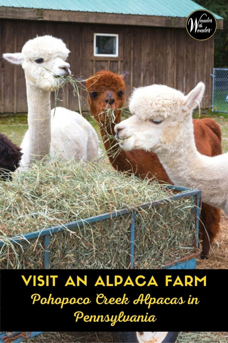 Alpacas are beautiful, intelligent, and gentle creatures. They also have their own personalities. Pohopoco Creek Alpacas is about 40 miles north of Allentown, Pennsylvania and offers a great family outing. Take the entire family to pet alpacas. Remember National Alpaca Farm Days is the last weekend in September!